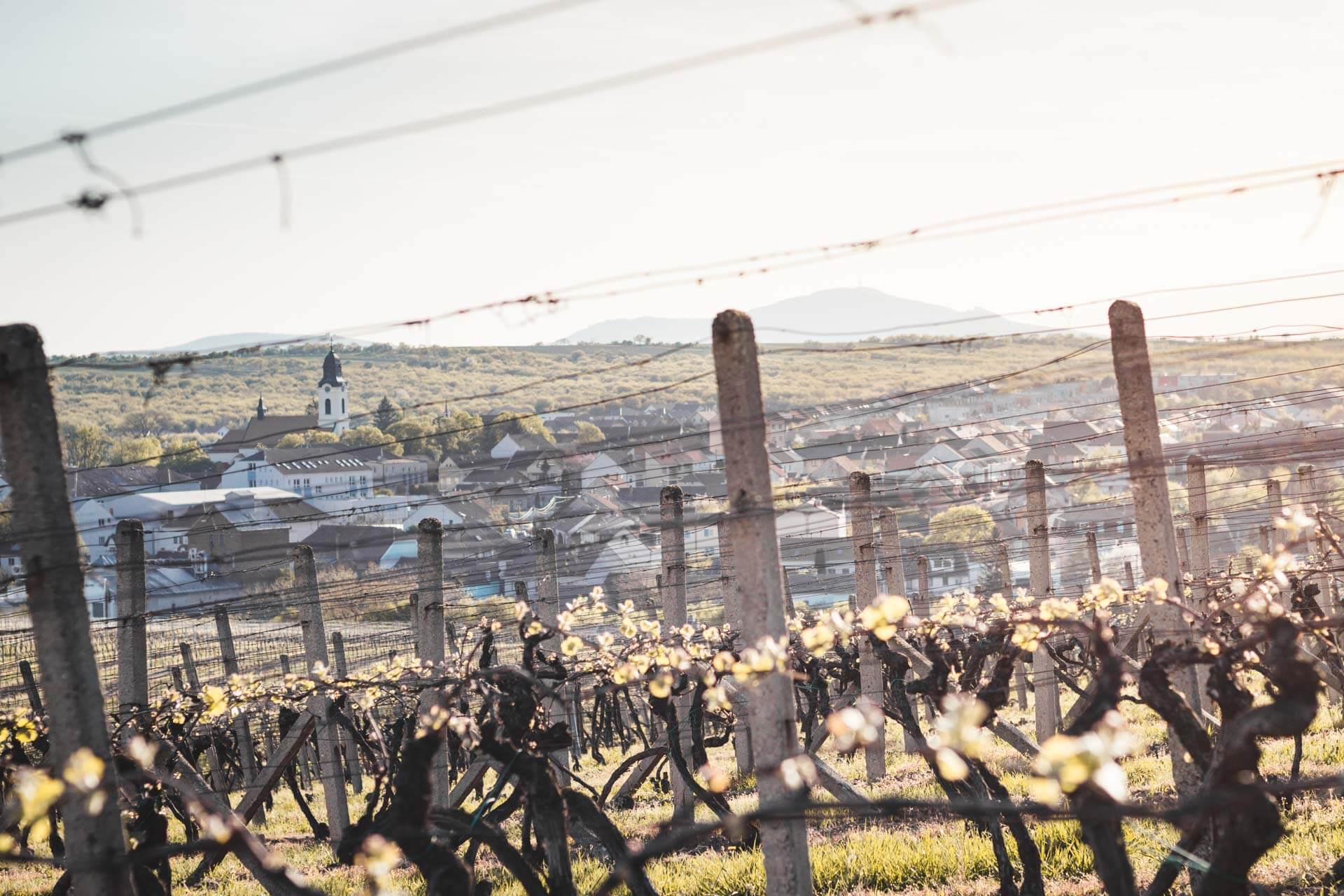 Pohled z vinic – Velkopavlovická vinařská podoblast, VINIUM Velké Pavlovice