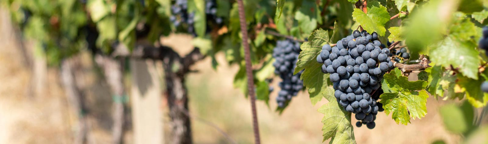 Vinobraní začíná